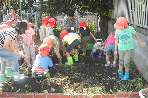 【いもほり】園庭で子ども達が育てたさつま芋を、年長組が収穫します。できたおいもで芋煮汁を作ります。